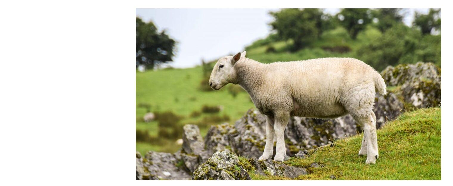 Imagem de um cordeiro em um pasto.